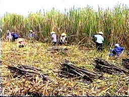 Diện tích mía Bình Định giảm mạnh do khô hạn kéo dài