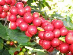 Giá cà phê Tây Nguyên giảm xuống 34,2 triệu đồng/tấn