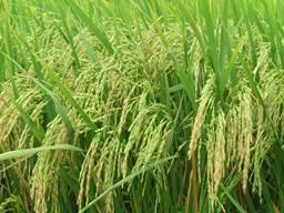 Giá lúa gạo ĐBSCL tuần qua giảm trở lại do Thái Lan tăng cường xuất khẩu