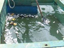 Thủy sản chết trắng do dầu tràn ở Quy Nhơn