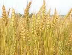 Giá lúa mỳ tăng trở lại do lực mua vào tăng