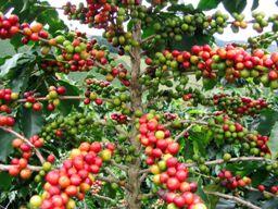 Sản lượng cà phê Việt Nam niên vụ tới dự báo tăng 10%