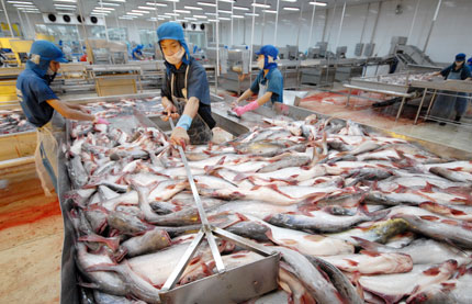 Giá cá tra nguyên liệu ĐBSCL tuần này giảm mạnh 500 đồng/kg