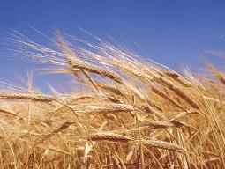 Giá lúa mỳ có mạch tăng dài nhất 4 tháng nhờ triển vọng của Mỹ