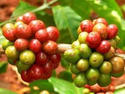 Hỗ trợ nông dân tái canh cây cà phê
