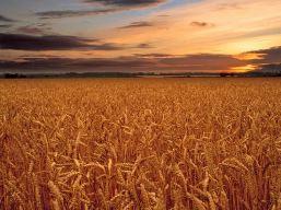 Giá lúa mỳ tăng mạnh nhất 3 tuần