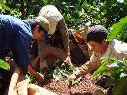Việt Nam có thêm 21 loại cà phê mới