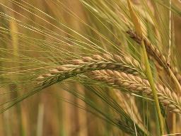 Giá lúa mỳ Nhật Bản điều chỉnh tăng lần thứ 3 trong năm
