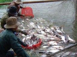 Giá cá tra nguyên liệu ĐBSCL tăng 400-700 đồng/kg so với tuần trước
