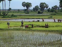 FAO dự báo sản lượng gạo Campuchia năm nay tương đương năm ngoái