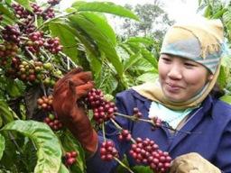 Vicofa chỉ ra 3 điểm yếu của ngành cà phê Việt Nam