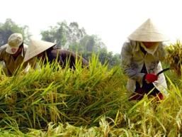 Giá lúa ĐBSCL giảm nhẹ 50 đồng/kg sau khi kết thúc thu mua tạm trữ