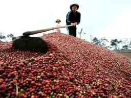 Giá cà phê Tây Nguyên giảm tiếp 500 nghìn đồng/tấn