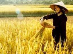 Hết tạm trữ, lúa gạo lại giảm giá mạnh