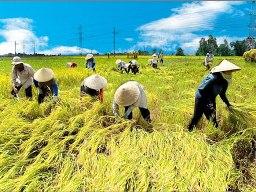 Khắc phục khó khăn cho sản xuất và xuất khẩu lúa gạo