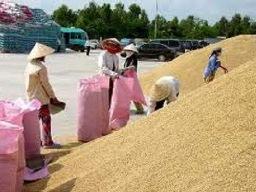 Giá lúa gạo ĐBSCL xuống thấp nhất năm