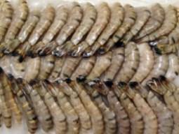 Tiềm năng tăng mạnh xuất khẩu tôm vào Mỹ