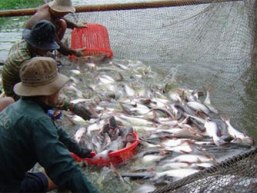 """""""Sóng ngầm"""" thị trường cá tra"""