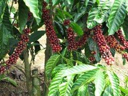 Xuất khẩu cà phê thấp kỷ lục