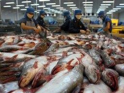 Thiếu cá tra nguyên liệu giữa mùa xuất khẩu