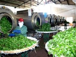 Xuất khẩu chè Việt Nam đứng thứ 5 nhưng giá thấp nhất thế giới