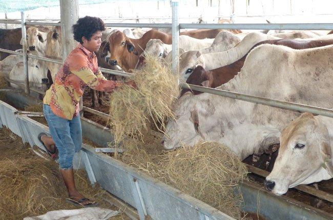 Úc không ngưng cung cấp bò sống cho Việt Nam