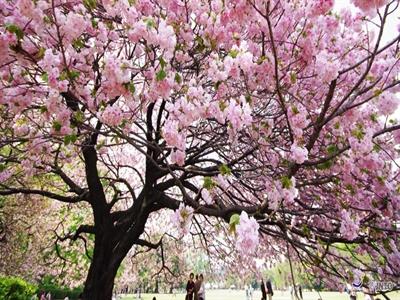 Tháng 4: Hồng hồng tuyết tuyết hoa anh đào Nhật Bản