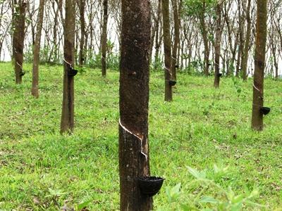 Lo ngại về giá cả khi Việt Nam mở rộng diện tích trồng cao su