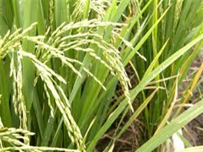 FAO: Thương mại gạo toàn cầu 2014 sẽ đạt trên 39 triệu tấn