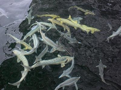 Cận cảnh xưởng làm trứng cá tầm ngàn đô