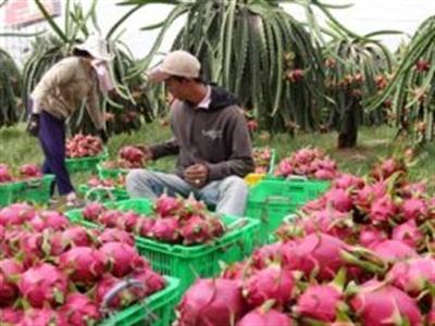 Trung Quốc sẽ cạnh tranh xuất khẩu thanh long với Việt Nam