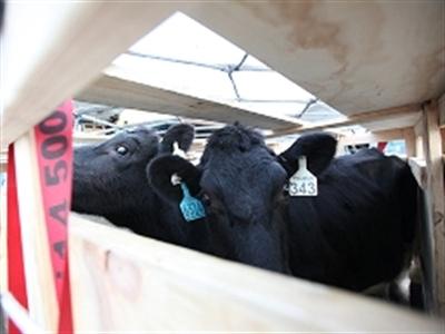 Vinamilk tiếp tục nhập 200 con bò sữa Úc về Việt Nam