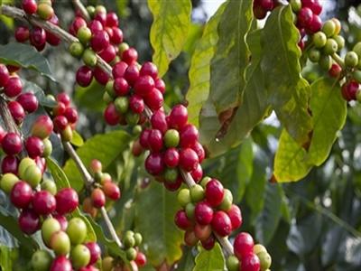 Giá cà phê Tây Nguyên tăng trở lại lên 39,6 triệu đồng/tấn