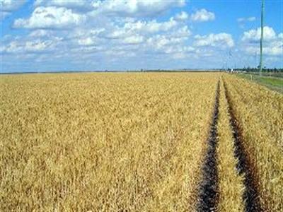 Nhiều vùng trồng lúa mỳ của Australia sẽ khô hạn hơn nếu El Nino diễn ra