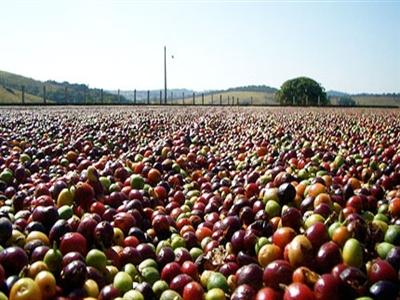 Cà phê Brazil thiệt hại thấp hơn dự báo