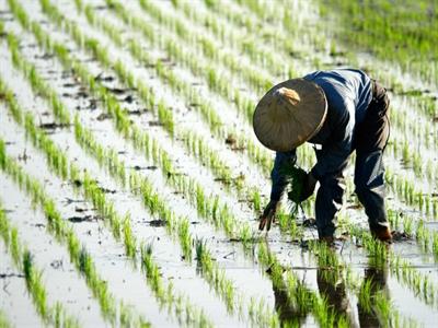 Biến đổi khí hậu khiến ngành lúa gạo Trung Quốc thiệt hại 38 triệu USD 10 năm qua