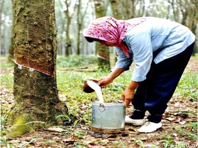 Malaysia chi 130 triệu ringgit hỗ trợ nông dân trồng cao su do giá giảm