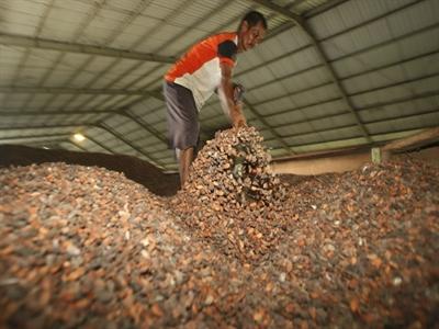 ICCO giảm dự báo về thiếu hụt sản lượng cacao toàn cầu
