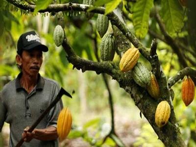 Indonesia trở thành nước sản xuất cacao lớn nhất châu Á