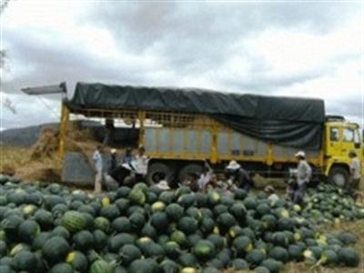Người Trung Quốc thuê đất trồng dưa hấu lạ ở Gia Lai