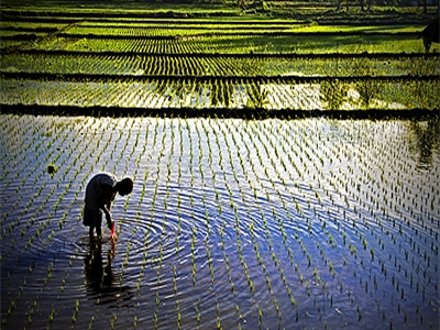 Philippines tăng diện tích lúa lai thêm 200.000 ha