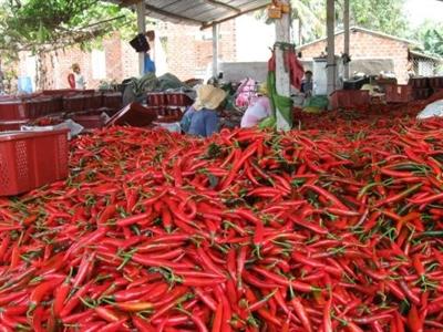 Doanh nghiệp Trung Quốc tháo chạy, dân trồng ớt trắng tay