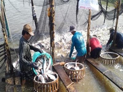 Nghị định về cá tra: Vẽ quy định để thu phí?