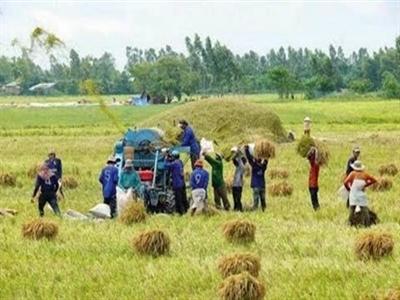 ĐBSCL: Giá lúa giảm, nông dân lao đao
