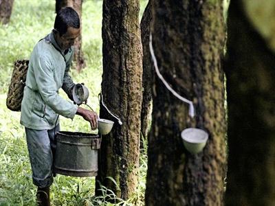 Thái Lan phê duyệt 6,6 tỷ baht hỗ trợ người trồng cao su