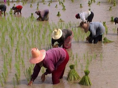 Thái Lan công bố khoản trợ cấp cho người trồng lúa