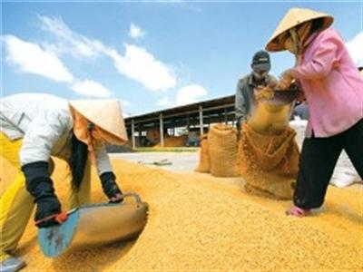 Giá gạo xuất khẩu tăng vọt
