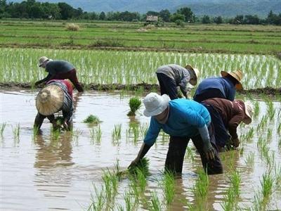 Sản lượng lúa Thái Lan năm nay ước đạt 38,8 triệu tấn