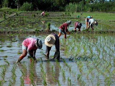BAAC Thái Lan cung cấp 4 tỷ USD tín dụng cho nông dân trồng lúa
