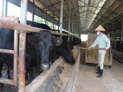 Ông Đặng Văn Thành nuôi bòKobeở Lâm Đồng
